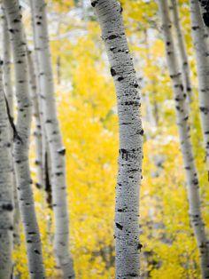Birch trees and autumn leaves ~ Laura Brodniak, Kirkland WA