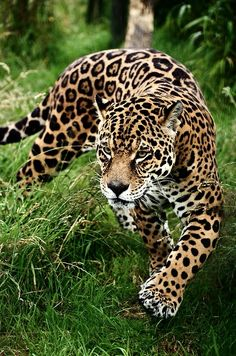 Jaguar, see the spots inside the rosettes? That's one way to know it is a jaguar and not a leopard.