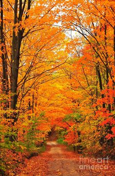 The epitome of fall foliage.A country road wanders away into a tunnel of autumn trees. This image was captured in northern Michigan near Cadillac, Michigan, USA. Beautiful Places, Beautiful Pictures, Trees Beautiful, Autumn Scenes, Fall Pictures, Pictures Of Trees, All Nature, Belle Photo, Beautiful Landscapes