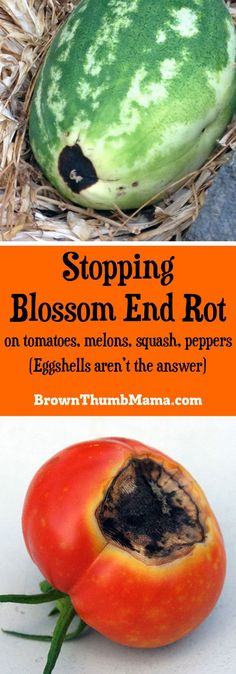 """Yes, you can fix blossom end rot on #tomatoes, melons, squash, and peppers. While you can't """"heal"""" a #vegetable that's already damaged, here's how to prevent blossom end rot from happening again. #gardening"""