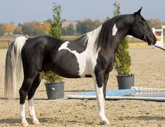 Pintabian stallion MP Alis Dandi has more than 99,6% of Arabian blood in its pedigree. Pintabian needs to have more than 99% of Arabian blood and tobiano coloring. Breeding them is a longish project, but the result is awesome: looks like an Arabian but with tobiano color!