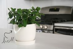 The Jade Plant - The Sill - New York Plant Design & Delivery Services for Home & Office