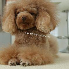 ・✼••┈••✼••┈••✼・ ・ ・ 眉毛姉さんも今日で終わり(ฅ・ิω・ิฅ)・ ・ ・ 明日はトリミングですよ✨ ・ ・ わたしのお手入れも限界💦 ・ ・ ・ #ボサ子やのにいいねやフォロー❤#感謝❤#いぬ #わんこ#トイプー#トイプードル#バズさん#愛犬#dog#toypoodle#poodle#lovedog#buzz#dogstagram#instadog#dogsofinstagram#insta_dog#cute#inutokyo#west_dog_japan#wooftoday#todaysdog#poodlelove#cutepoodlesgram#dogoftheday#7pets_1day#bestfriends_dog#poodle_feature#poodlesdaily