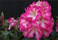 RareFind: Rare Azaleas, Rhododendrons, Trees & Shrubs, Perennials and more.