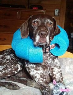 Cut pool noodle and fit around their widened collar. Inexpensive a… DIY Dog Cone. Cut pool noodle and fit around their widened collar. Inexpensive and easier on them. Animals And Pets, Cute Animals, Diy Stuffed Animals, Dog Accessories, Doge, Pet Care, Puppy Care, Fur Babies, Dogs And Puppies