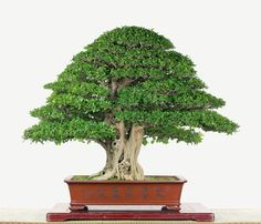 Murraya paniculata by Mu-Lai Hung Murraya Paniculata, Indoor Bonsai, Ficus, Love Photos, Pictures, Crafts, Bonsai Art, Garden Ideas, Trees