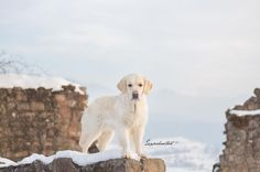 It's the circle of life, and it moves us all through despair and hope, through faith and love! . Can't help myself but this picture reminds me (yeah, without the snow) so much on one of the most beautiful Disney movies ... can you guess which one? ❤ . #diewocheaufinstagram #elegant_dogs  #canon #eos700d #showcasing_pets  #Fluffypack @fluffypack  #light  #_retrieversofinsta #meowsandwoofs #Drawmekristina  #magicalmoment #fun  #soulmate #bestfriends  #friends  #truelove #mybestfriend…