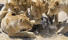 Meals on wheels: The lions attack the buggy.