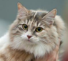 Hypoallergenic Cats #cats #hypoallergenic #catallergy (Article from www.MetaphoricalPlatypus.com; Siberian Cat Image Courtesy of Heikki Siltala, catza.net)