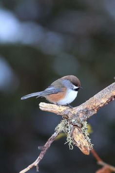 The Boreal Chickadee (Poecile hudsonicus) is a small passerine bird in the tit family Paridae. Their breeding habitat is coniferous woods in Canada, Alaska and the northern edges of the lower forty-eight United States.