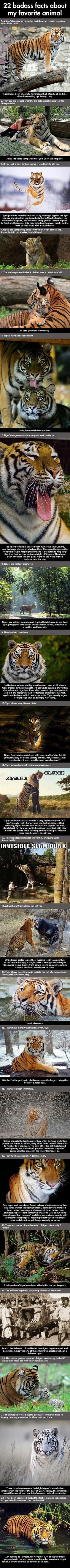 There's never any comments etc about why such a magnificent animal walks around in Day Glo Orange?!! But, I figured it out a few years ago!! These Tigers are my fav animal!!!! Images of the day, 70 images. 22 Badass Facts About Tigers