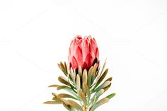 flower Beautiful proteus flower isolated on white background. flower B Exotic Flowers, Beautiful Flowers, Real Flowers, Beautiful Things, Flower Images, Flower Art, South African Flowers, Protea Flower, Illustration Blume