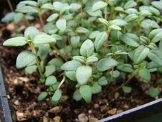 Think Small  Plants with small leaves, like this French thyme, help you landscape to the scale of your garden, and of course you don't want plants that grow too fast. Photo by Nancy Ondra