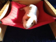 Guinea Pig DIY hammock. My guinea pigs just love them. Very secure and comfy, as you can see.