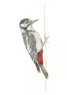 Print - Great Spotted Woodpecker - Pencil Drawing by HannahLongmuir on Etsy https://www.etsy.com/listing/151905599/print-great-spotted-woodpecker-pencil