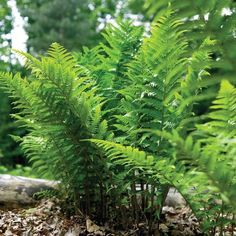 Best Ferns for Gardens and Landscapes. Ferns are easy, long-lived perennials that require almost zero care. Learn where to plant ferns and which ones are suitable for gardens and landscaping. Garden Shrubs, Shade Garden, Garden Landscaping, Landscaping Ideas, Garden Plants, Residential Landscaping, Inexpensive Landscaping, Hosta Gardens, Potted Plants