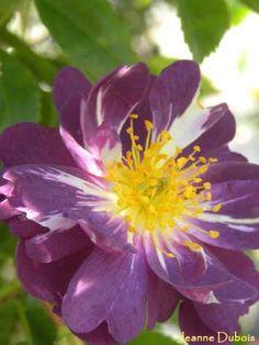 Rose Floribundas