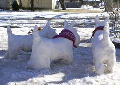 three snow scotties