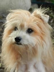 Wilson is an adoptable Chinese Crested Dog Dog in Greenville, SC. Meet Winston, a cute little powderpuff boy. He's about 10 pounds of precious cute. Stay tuned for more info, or visit us at www.baldis...