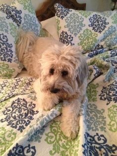 My Wheaten Terrier- he was a shelter dog