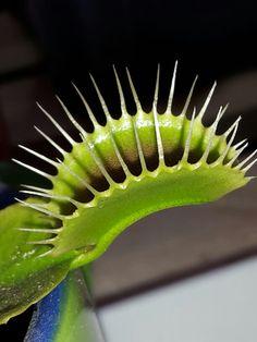 Dioneae flytrap