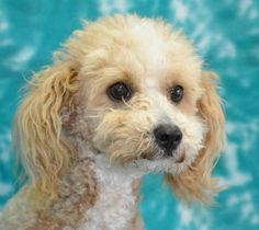 3 / 29 Petango.com – Meet GINGER, a 11 months 12 days Poodle, Miniature available for adoption in Eureka, CA Contact Information Address 6073 Loma Avenue, Eureka, CA, 95503 Phone (707) 442-1782 Website http://.www.sequoiahumane.org Email info@sequoiahumane.org