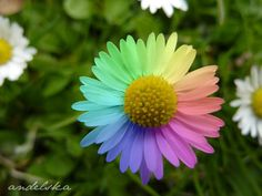 Rainbow flowers - pack-of-many-rainbows Photo