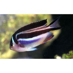 Bellus Angelfish FEMALE (Genicanthus bellus)