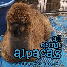 All about alpacas | A short study about our favorite camelid from Unschool RULES