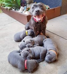 The Loyal Working Companion Dog: American Pit Bull Terrier Cute Baby Animals, Animals And Pets, Funny Animals, Beautiful Dogs, Animals Beautiful, Amazing Dogs, Beautiful Children, Pitbull Pups, Labrador Husky