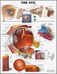 Image result for physiotherapy wall charts anatomy