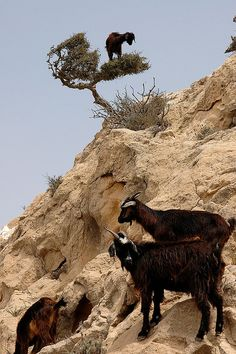 Goats in Argan Tree, near Essaouira, Morocco by Robbie's Photo...