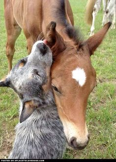 Australian Cattle Dog And Horse - Love this!