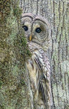 A shy Barred Owl bird peeks around a tree by photographer Jennie Marie Schell. Beautiful Owl, Animals Beautiful, Cute Animals, Wild Animals, Pretty Birds, Love Birds, Pretty Baby, Photo Animaliere, Photo Book