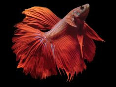 Nice Betta: Siamese Fighting Fish - Betta splendens