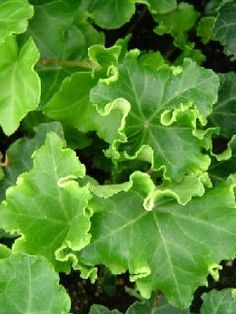 Curly Ivy - Ivy 'Parsley Crested' / Hedera helix Parsley Crested