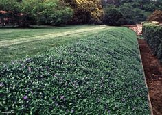 Vinca groundcover on slope