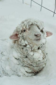 'tit mouton sous la neige!