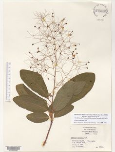 Cotinus_obovatus,Resources for Botanical Sketchbooks, , Resources for Art Students at CAPI::: Create Art Portfolio Ideas milliande.com, Art School Portfolio Work, , Botanical, Flowers, Plants, Leaves,Stem Seed, Sketching, Herbarium