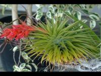 Tillandsia Species geminiflora