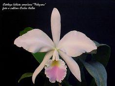 C.labiata amesiana 'Foleyana'