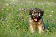 Catalan Sheepdog Puppy