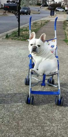 Oliver wants to go for a ride, he might be a little spoiled. French Bulldog.