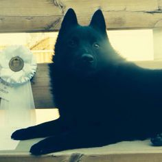 My baby boy Guinness and his group 4 ribbon from today