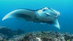 Maledives - one of the largest colonies of manta rays... hope to visit one day.
