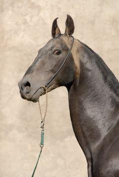 Stallion Salyr  (Gaygysyz-Sania) champion mira.foto Yu.N.Kuznetsovoy