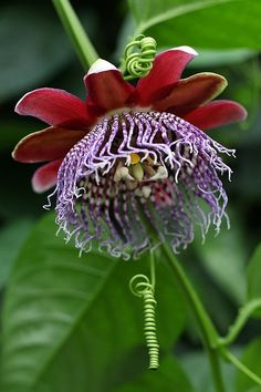 Passion Flower ~ red and purple