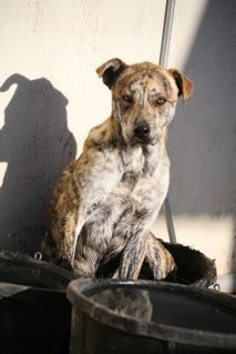 ADOPTED !! #ARIZONA #U needed! Fedwell Farms in #Scottsdale, a rescue that has saved many from the E-list, is having to close. They are losing their property on 11-25-13 --  Harley is a friendly 2yo Brindle Beauty, a sweet Cattle Dog who gets along well w/pp & dogs  -- Please Text or call RJ at Pet Allies who's helping coordinate 928 243 0695