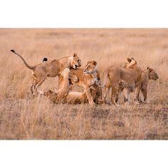 "Jonas Stenqvist (@jon.ste) on Instagram: ""Family dynamics. — Just another morning on the #MaasaiMara #Africa #Lion "" #BigCatFamily"