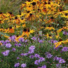 Lavandula angustifolia Hidcote English Lavender Cosmos